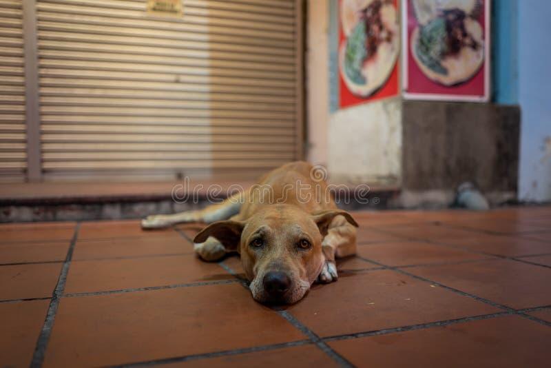 Ένα σκυλί οδών Malacca, Μαλαισία στοκ εικόνες