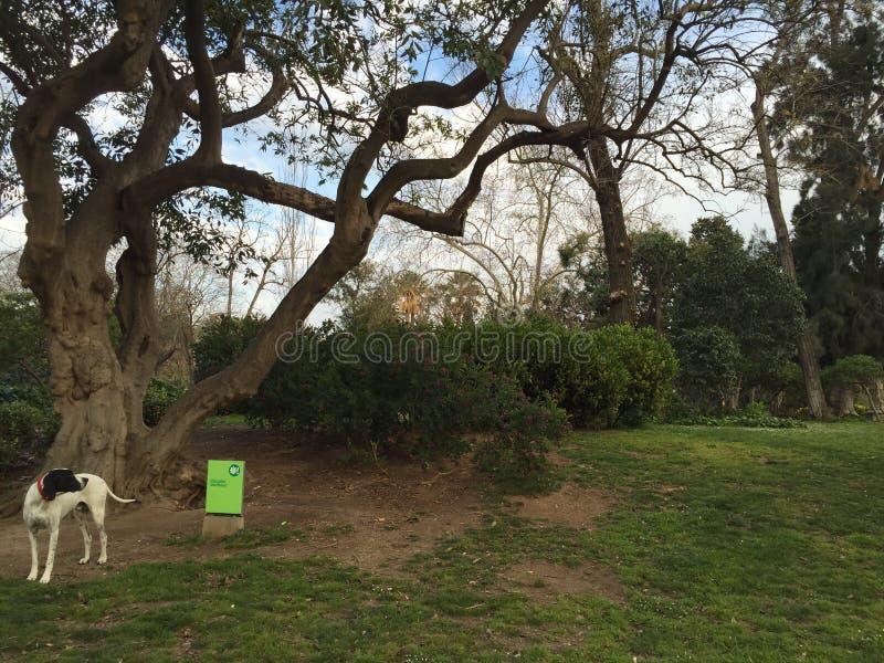 Ένα σκυλί που εξετάζει πίσω τον ιδιοκτήτη του σε ένα πάρκο στην Ισπανία στοκ φωτογραφίες με δικαίωμα ελεύθερης χρήσης