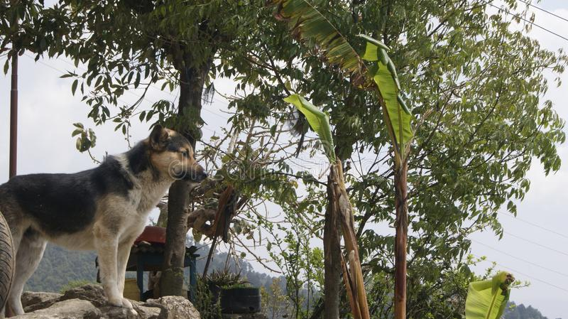 Ένα σκυλί που κοιτάζει στα βουνά στο Νεπάλ στοκ φωτογραφίες με δικαίωμα ελεύθερης χρήσης
