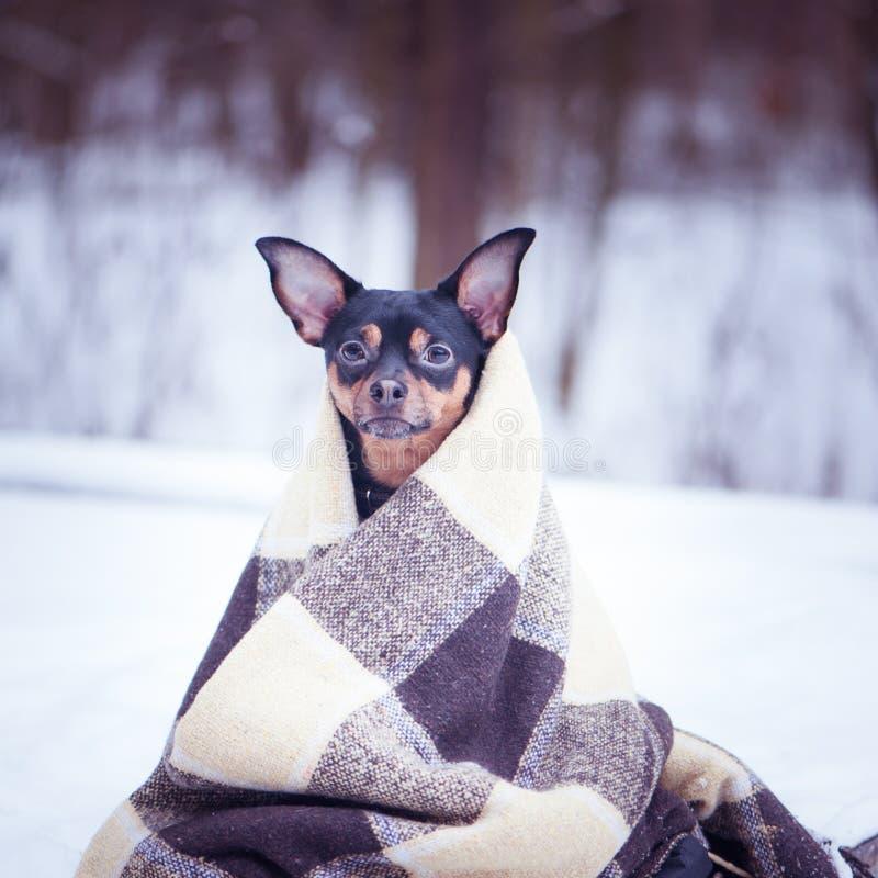 Ένα σκυλί που τυλίγεται σε ένα καρό έναν χειμώνα η δασική Zen, περισυλλογή, yo στοκ φωτογραφία με δικαίωμα ελεύθερης χρήσης