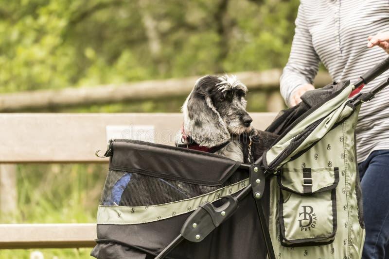 Ένα σκυλί σε ένα καροτσάκι της Pet που εξετάζει πίσω κάποιο που κάνει το θόρυβο στοκ εικόνες