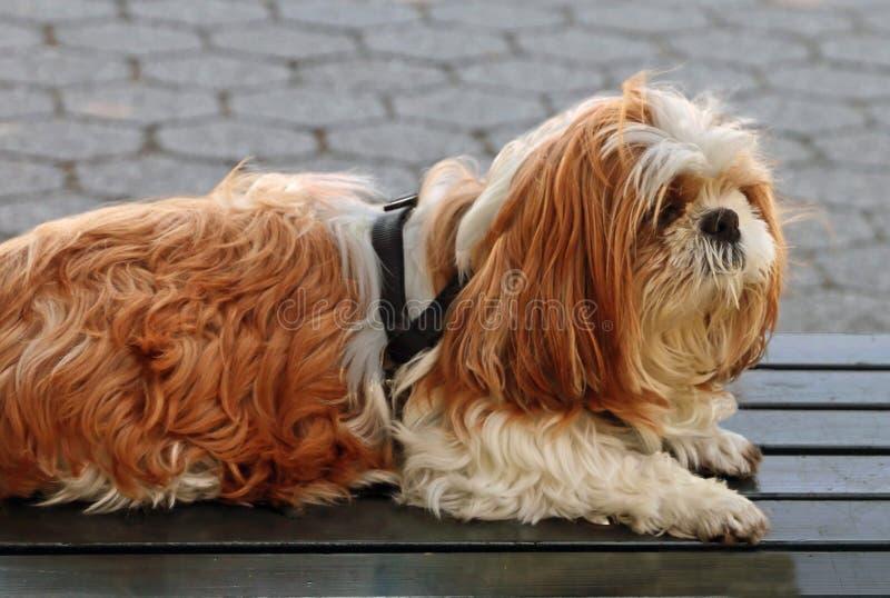 Ένα σκυλί σε μια ανάγκη ενός κουρέματος στοκ εικόνες