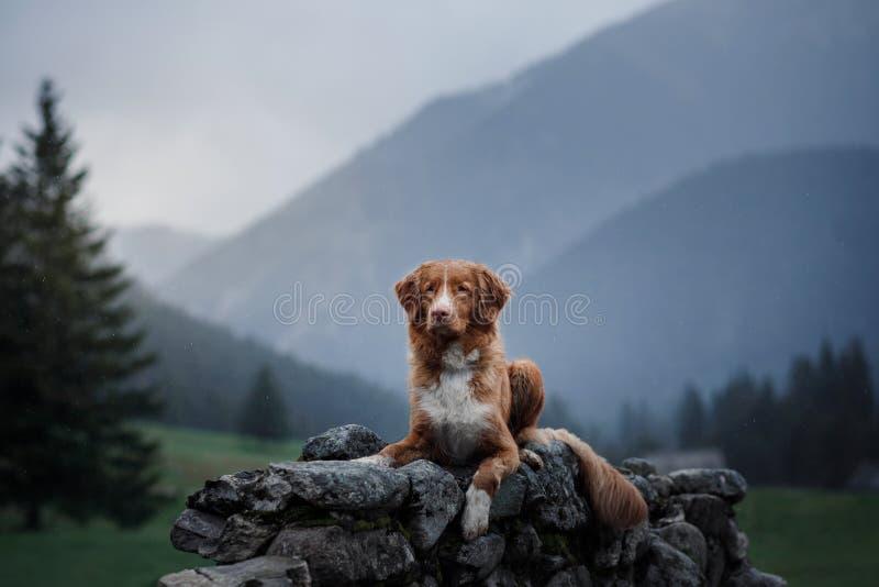 Ένα σκυλί στα βουνά στην κορυφή Toller στοκ φωτογραφίες