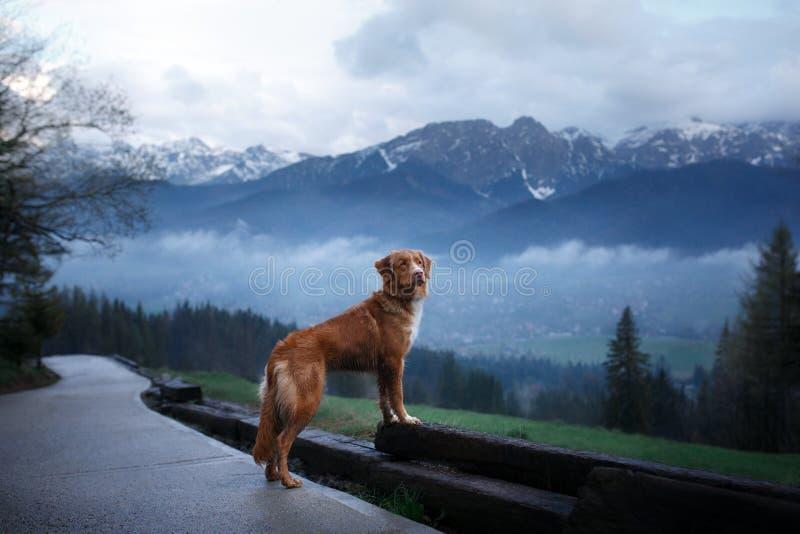 Ένα σκυλί στα βουνά στην κορυφή Toller στοκ εικόνα