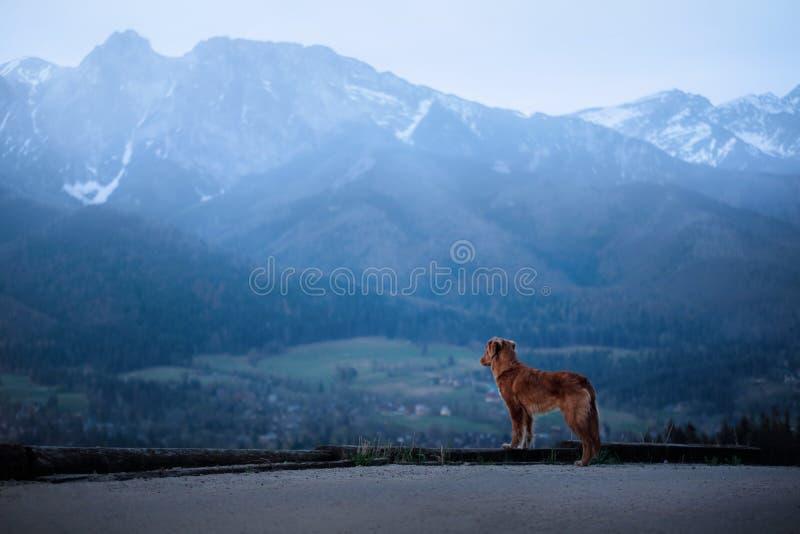 Ένα σκυλί στα βουνά στην κορυφή Toller στοκ φωτογραφία με δικαίωμα ελεύθερης χρήσης
