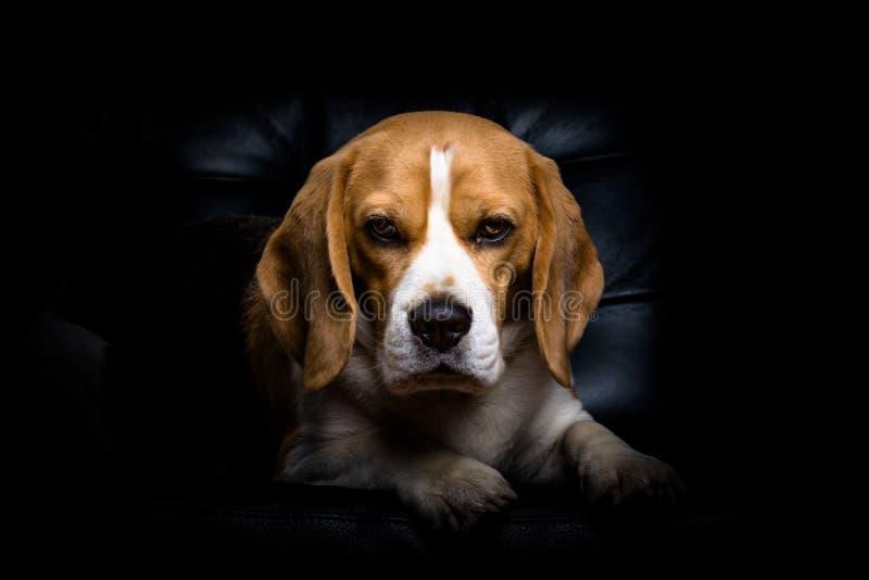 Ένα σκυλί λαγωνικών. στοκ φωτογραφίες