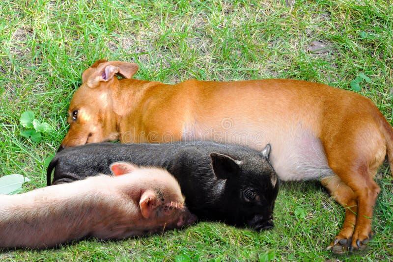 Ένα σκυλί και ένα Piggies στοκ φωτογραφίες