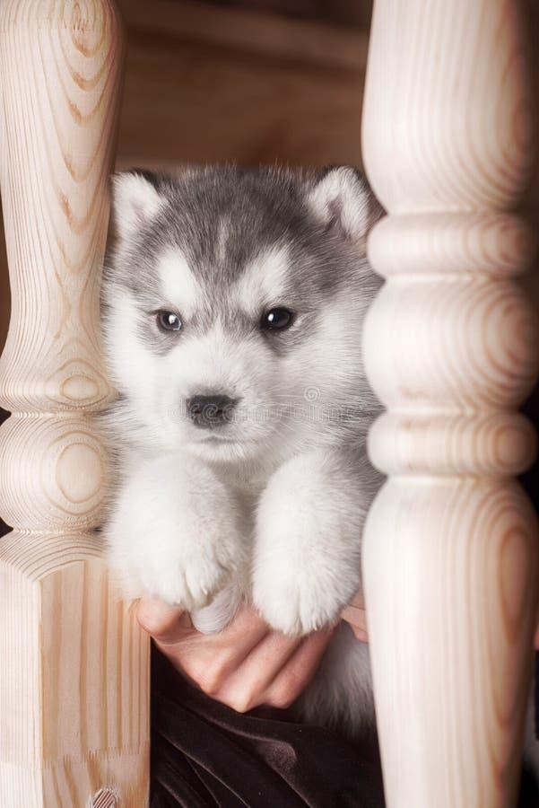 Ένα σκυλί κουταβιών της σιβηρικής γεροδεμένης φυλής στο ξύλινο πάτωμα στοκ εικόνες με δικαίωμα ελεύθερης χρήσης