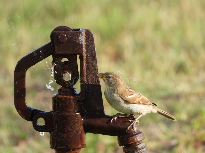 Ένα σπουργίτι που παίρνει ένα ποτό του νερού από ένα βύσμα νερού στοκ εικόνες με δικαίωμα ελεύθερης χρήσης