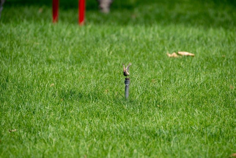 Ένα σπουργίτι στο montanus θερινών πομπών, αγγλικό όνομα: Ευρασιατικό σπουργίτι δέντρων στοκ φωτογραφία με δικαίωμα ελεύθερης χρήσης