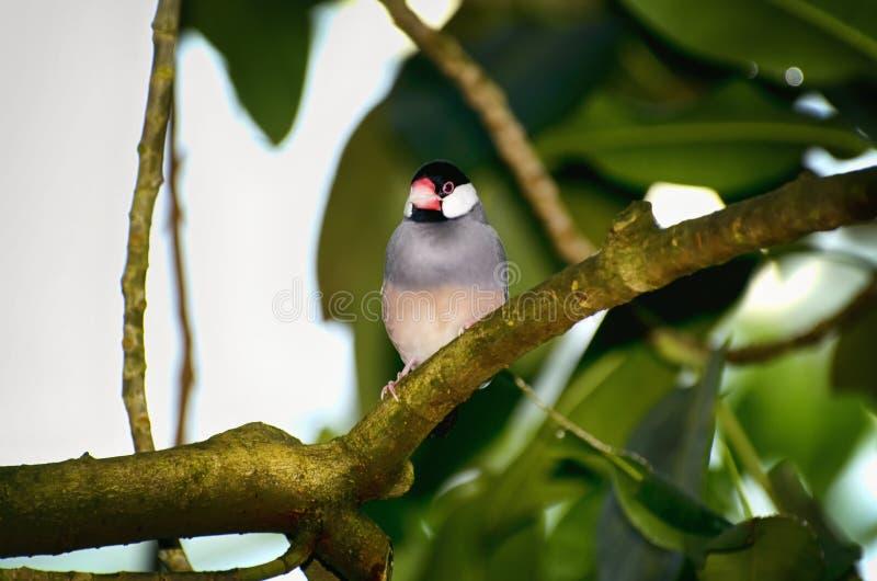 Ένα σπουργίτι της Ιάβας γνωστό επίσης ως Finch της Ιάβας και πουλί ρυζιού της Ιάβας στοκ εικόνες με δικαίωμα ελεύθερης χρήσης