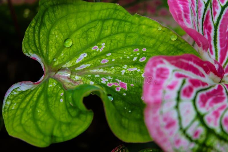 Ένα σταγονίδιο νερού που κυλά σε ένα όμορφο ρόδινο φύλλο Φτερό αγγέλου FA στοκ εικόνα με δικαίωμα ελεύθερης χρήσης