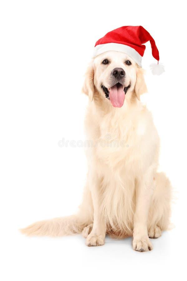 Ένα στούντιο που καλύπτονται ενός σκυλιού που φορά ένα καπέλο Χριστουγέννων στοκ εικόνα