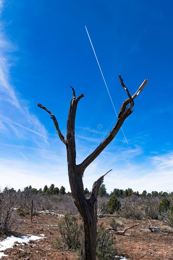 Ένα στριμμένο δέντρο ιουνιπέρων στο υπόλοιπο ερημιτών στο νότιο πλαίσιο του μεγάλου φαραγγιού στοκ φωτογραφίες με δικαίωμα ελεύθερης χρήσης