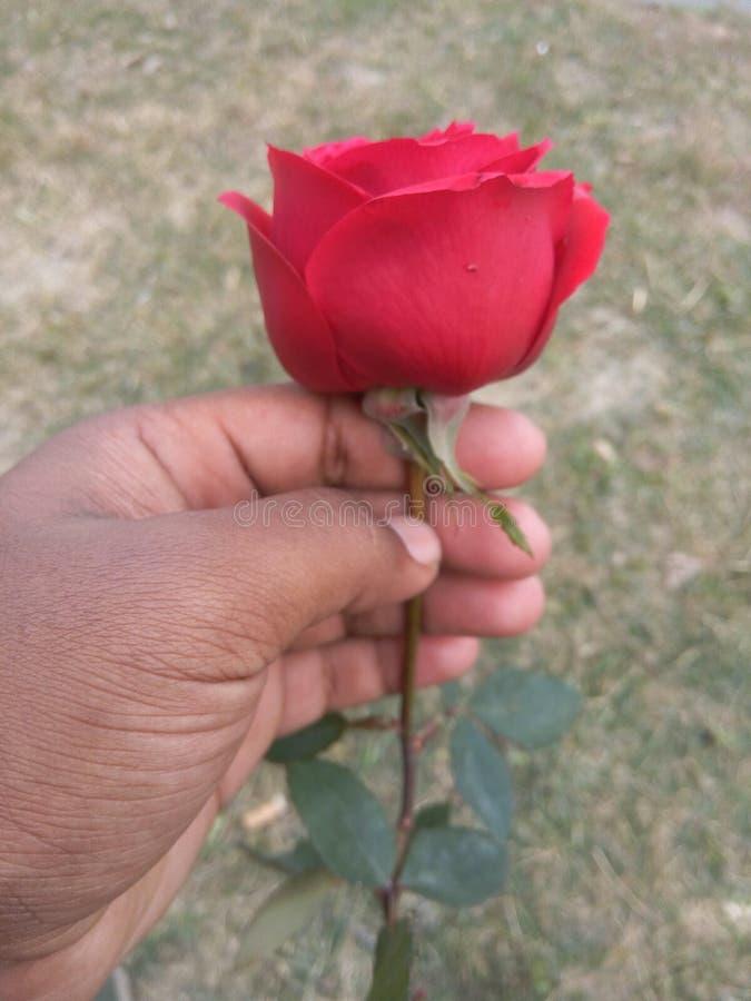 ένα συμπαθητικό ροδαλό λουλούδι στοκ φωτογραφία