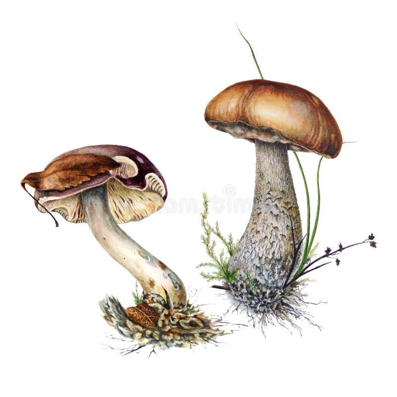 Ένα σύνολο βοτανικών απεικονίσεων watercolor των μανιταριών russula και η καφετιά σημύδα ξεφυτρώνουν καλύμματα στη χλόη απεικόνιση αποθεμάτων