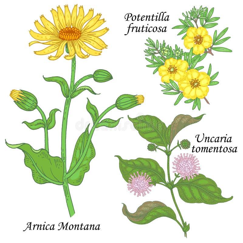 Ένα σύνολο ιατρικών εγκαταστάσεων - Arnica, potentilla, uncaria απεικόνιση αποθεμάτων