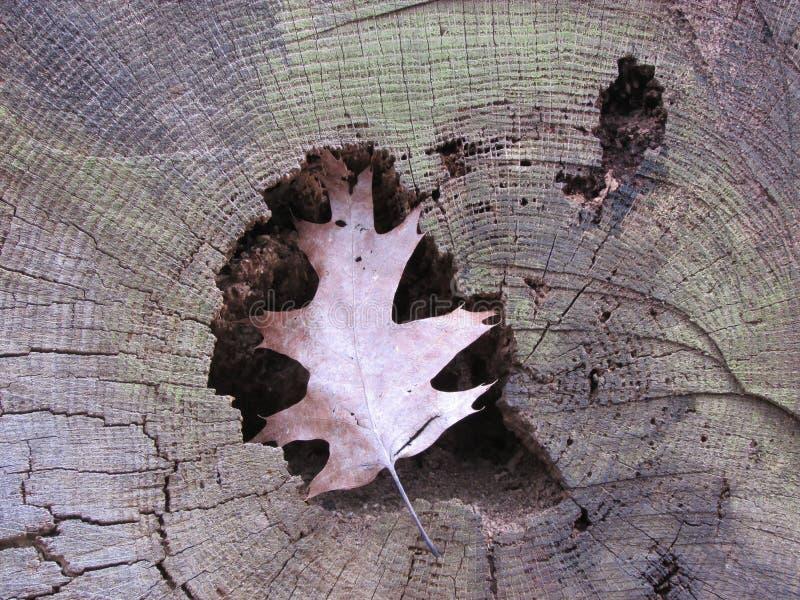 Ένα τραγανό φύλλο κόλλησε στη ρωγμή του δέντρου στοκ φωτογραφία