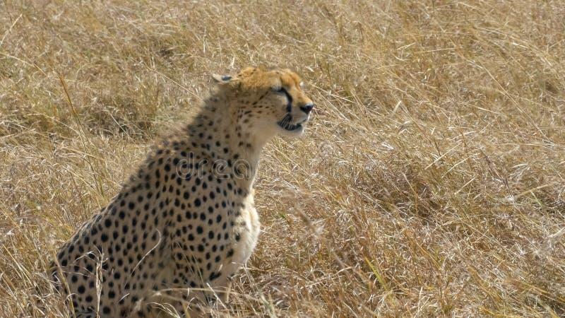 Ένα τσιτάχ κάθεται mara masai στην επιφύλαξη παιχνιδιού, Κένυα στοκ φωτογραφίες
