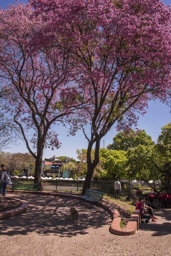 Ένα υπέροχα ρόδινο δέντρο poui περίπου το Παλέρμο στο Μπουένος Άιρες, Αργεντινή στοκ εικόνες