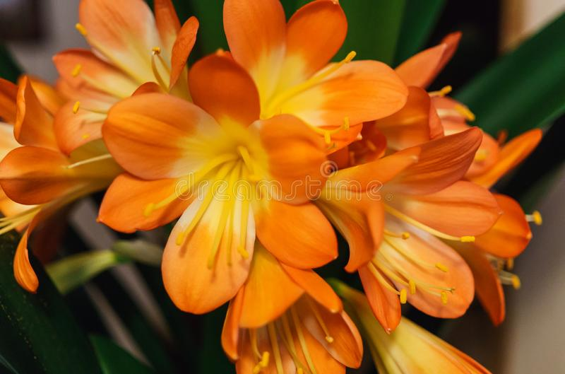 Ένα υπέροχο κλαδί άνθους της Κλίβια στοκ εικόνα