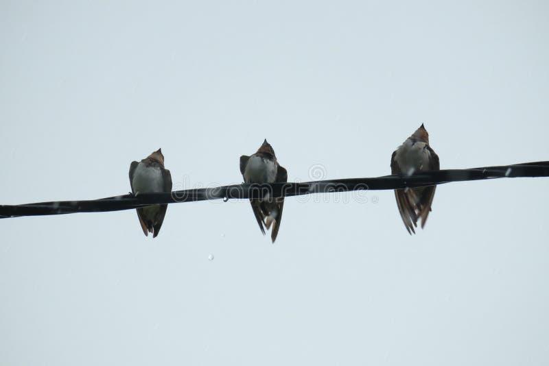 Ένα υπόλοιπο πουλιών τρίο σε απευθείας σύνδεση στοκ φωτογραφία με δικαίωμα ελεύθερης χρήσης