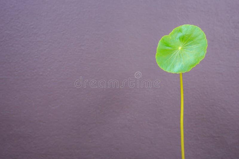 Ένα φρέσκο φύλλο του Asiatica φυτού Centella στον γκρίζο τοίχο backgroun στοκ εικόνα