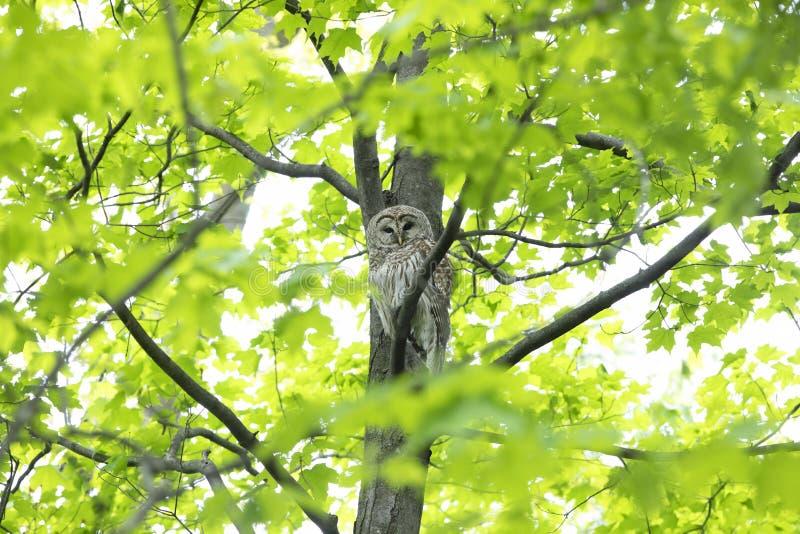 Ένα φραγμένο varia Strix κουκουβαγιών εσκαρφάλωσε στα δασικά κυνήγια κλάδων την άνοιξη για ένα γεύμα στον Καναδά στοκ εικόνες