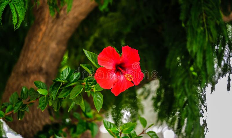 Ένα φωτεινό κόκκινο λουλούδι σε ένα δέντρο στοκ εικόνες με δικαίωμα ελεύθερης χρήσης