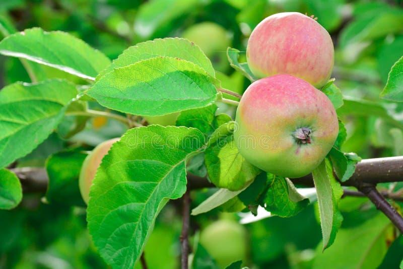 Ένα φωτεινό κόκκινο, ώριμο και juicy μήλο ταλαντεύει από ένα δέντρο μηλιάς ενάντια στα πράσινα φύλλα ενός οπωρωφόρου δέντρου στοκ εικόνα με δικαίωμα ελεύθερης χρήσης
