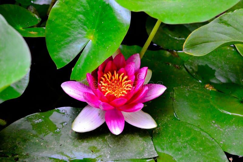 Ένα φωτεινό λουλούδι λωτού κατά τη διάρκεια της περιόδου ανθίσματος στοκ εικόνες με δικαίωμα ελεύθερης χρήσης
