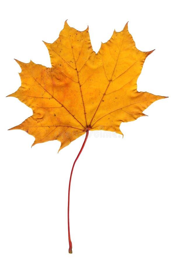 Ένα φύλλο σφενδάμνου σε λευκό απομονωμένο φόντο Κοντινό πλάνο φύλλου δέντρου, αντικείμενο φθινοπώρου στοκ εικόνες