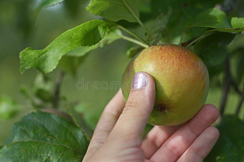 Ένα χέρι γυναικών ` s σχίζει ένα ώριμο μήλο από έναν κλάδο στοκ φωτογραφίες