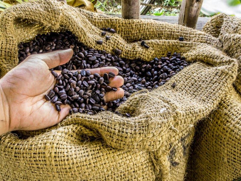 Ένα χέρι κρατά τα φρέσκα ψημένα αρωματικά φασόλια καφέ στον καφετή σάκο με το αγροτικό περιβάλλον στοκ εικόνες