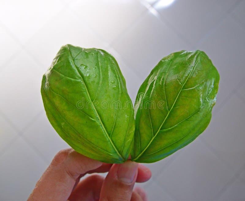 Ένα χέρι που κρατά δύο φρέσκα πράσινα φύλλα βασιλικού στοκ εικόνες