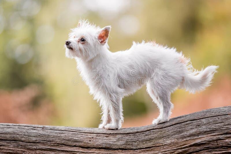 Ένα χαριτωμένο άσπρο μικρό σκυλί κουταβιών Chorkie που στέκεται σε ένα κούτσουρο κλάδων ή ένα πεσμένο δέντρο στοκ εικόνα