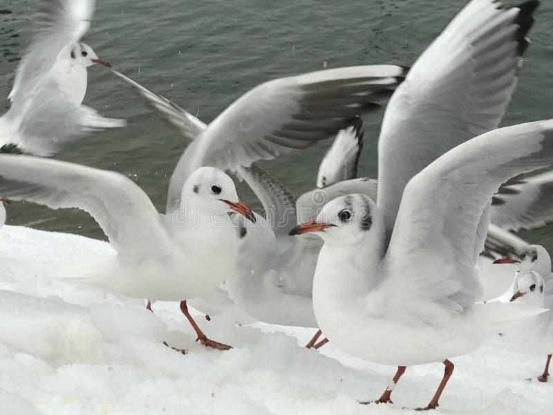 Ένα χαριτωμένο ζευγάρι seagulls στο χιόνι στοκ εικόνα με δικαίωμα ελεύθερης χρήσης