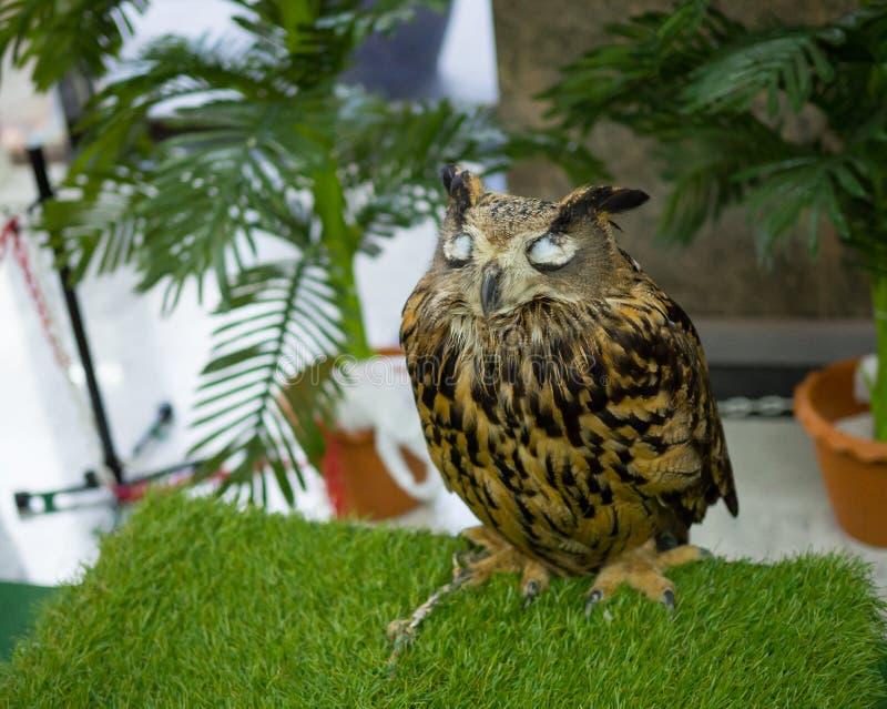 Ένα χαριτωμένο μεγάλο καφετί κερασφόρο άγριο πουλί κουκουβαγιών που στέκεται μόνο με το κλείσιμο ματιών στοκ φωτογραφίες με δικαίωμα ελεύθερης χρήσης