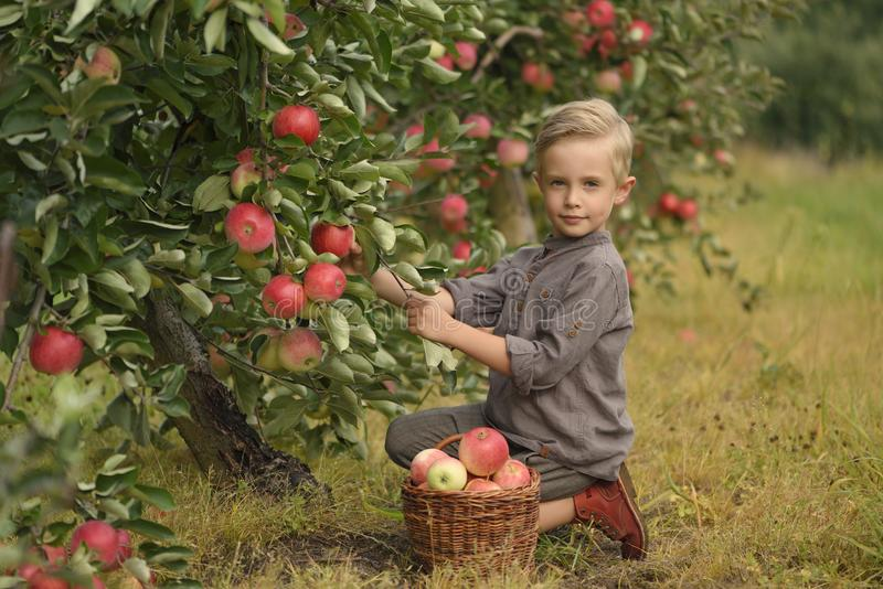 Ένα χαριτωμένο, χαμογελώντας αγόρι επιλέγει τα μήλα σε έναν οπωρώνα μήλων και κρατά ένα μήλο στοκ εικόνα