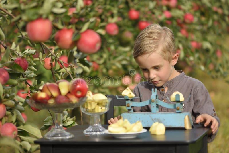 Ένα χαριτωμένο, χαμογελώντας αγόρι επιλέγει τα μήλα σε έναν οπωρώνα μήλων και κρατά ένα μήλο στοκ φωτογραφία