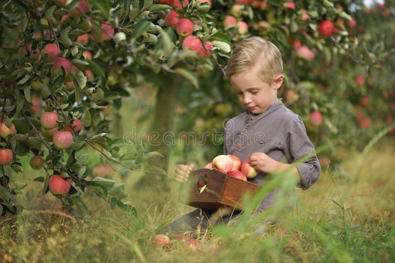 Ένα χαριτωμένο, χαμογελώντας αγόρι επιλέγει τα μήλα σε έναν οπωρώνα μήλων και κρατά ένα μήλο στοκ εικόνες