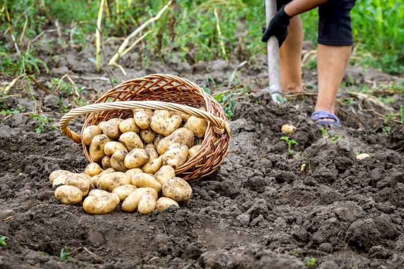 Ένα ψάθινο καλάθι των πατατών στον κήπο κοντά σε μια γυναίκα που σκάβει ένα φτυάρι potato_ στοκ εικόνα