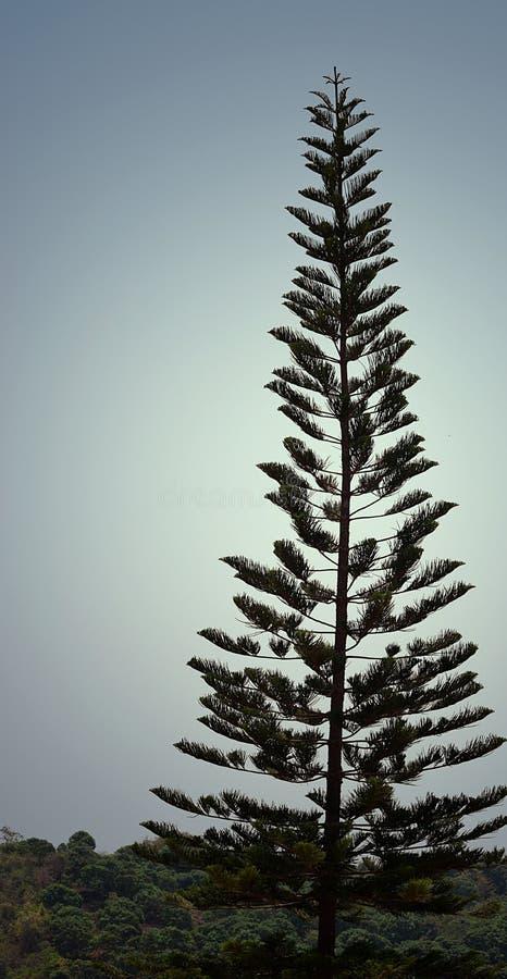 Ένα ψηλό δέντρο πεύκων Cook - αροκάρια Columnaris - χριστουγεννιάτικο δέντρο - υψηλό στο φυσικό υπόβαθρο ουρανού στοκ φωτογραφία με δικαίωμα ελεύθερης χρήσης