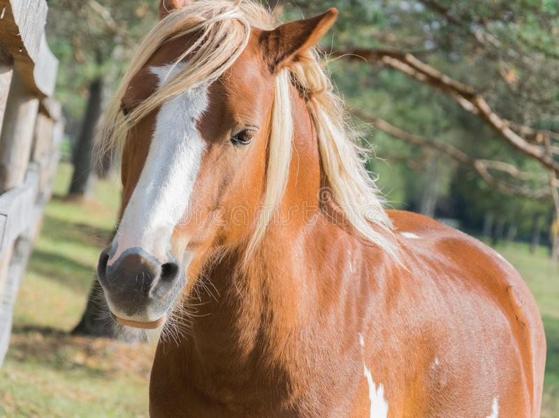 Ένα όμορφο άλογο κόλπων στέκεται κοντά στο φράκτη στη μάνδρα στοκ φωτογραφίες