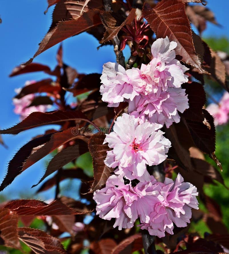 Ένα όμορφο δέντρο άνθισε στον κήπο, άνοιξη στοκ φωτογραφίες