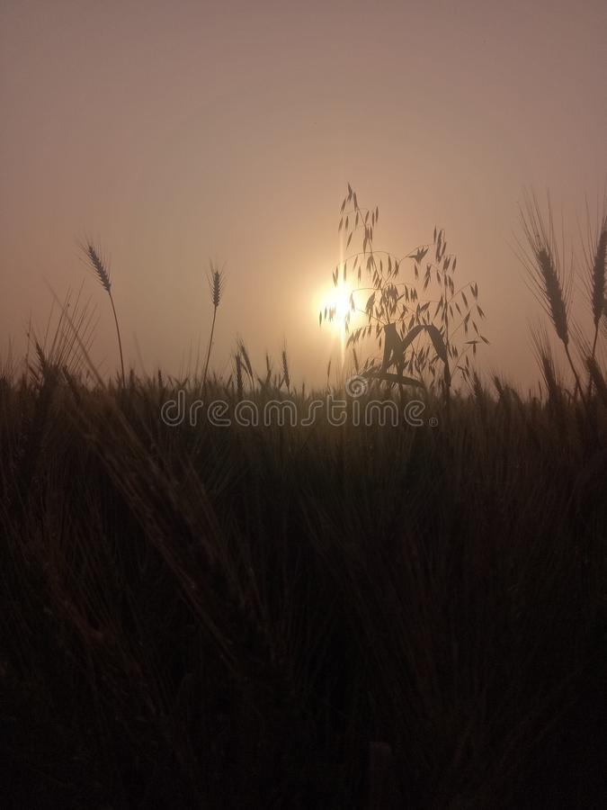 Ένα όμορφο ηλιοβασίλεμα πίσω από τις εγκαταστάσεις σίτου στοκ φωτογραφίες με δικαίωμα ελεύθερης χρήσης