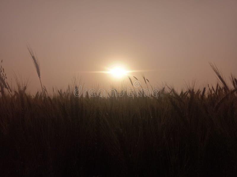 Ένα όμορφο ηλιοβασίλεμα πίσω από τις εγκαταστάσεις σίτου στοκ εικόνες