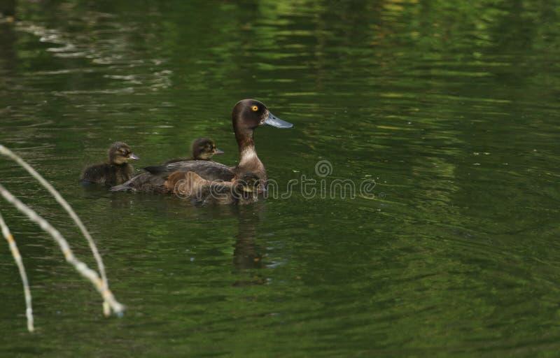 Ένα όμορφο θηλυκό σχηματισμένο τούφες fuligula Aythya παπιών που κολυμπά σε μια λίμνη με τα χαριτωμένα μωρά της στοκ εικόνες