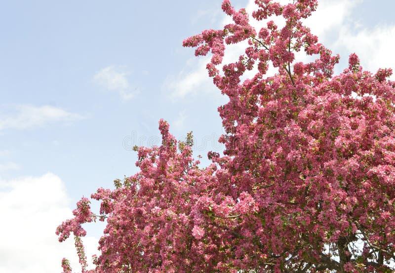 Ένα όμορφο και γλυκό μυρίζοντας δέντρο μηλιάς καβουριών στην πλήρη άνθιση ανοίξεων στοκ φωτογραφίες με δικαίωμα ελεύθερης χρήσης