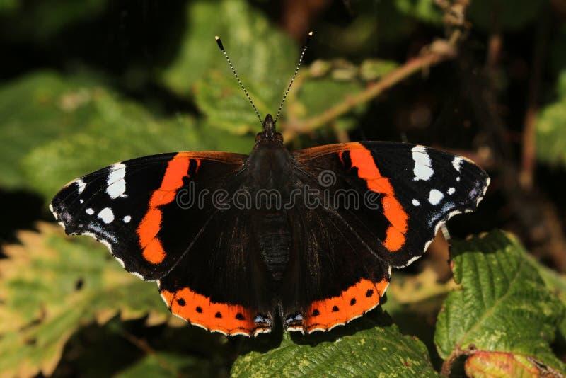 Ένα όμορφο κόκκινο atalanta της Vanessa πεταλούδων ναυάρχων εσκαρφάλωσε σε ένα φύλλο με τα ανοικτά φτερά στοκ φωτογραφία